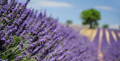 Provence et lavande