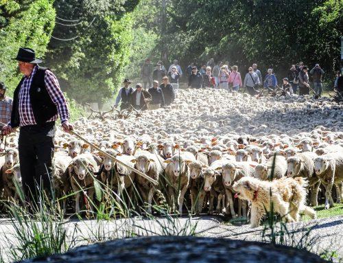 L'une des plus belles fêtes Provençales : La Transhumance, le 5 juin 2017