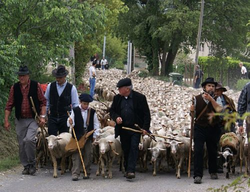 One of the most beautiful provençal tradition : the Transhumance – 5th of June 2017